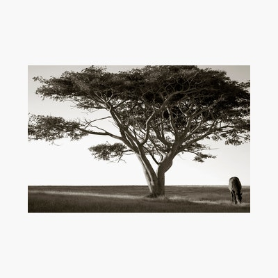 Horse And Tree At Last Light Print